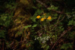 Yellow Forest Flowers thumbnail