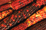 Indian Corn thumbnail